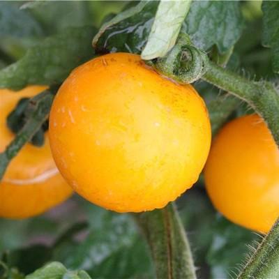 tomate-tangerine-jardins-de-vartan