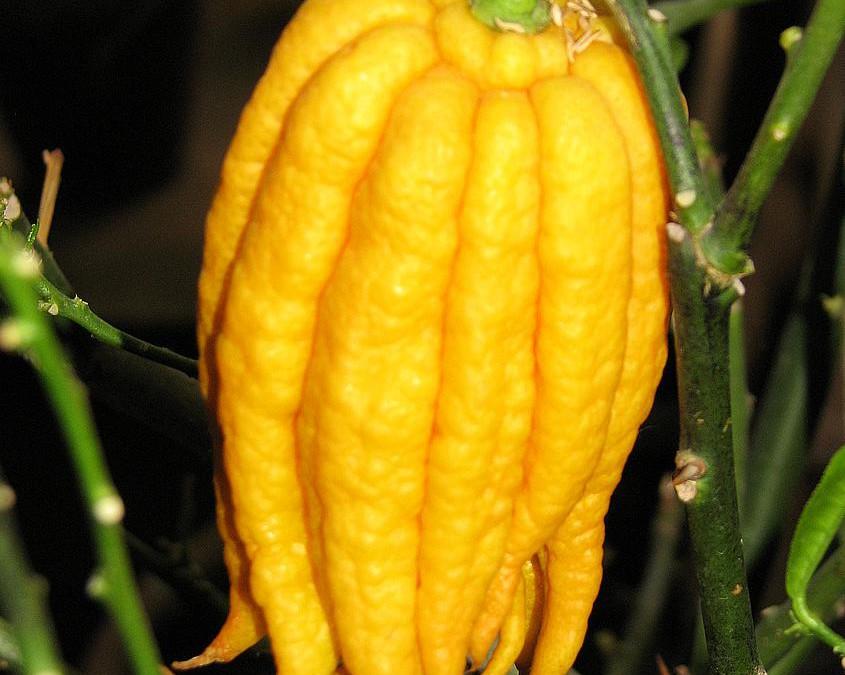 Agrumes : une nouveauté des jardins de vartan
